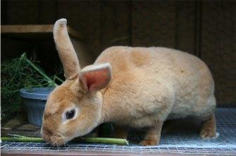 Dexter the Bunny