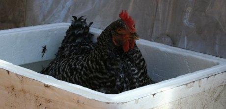 egg bound bath