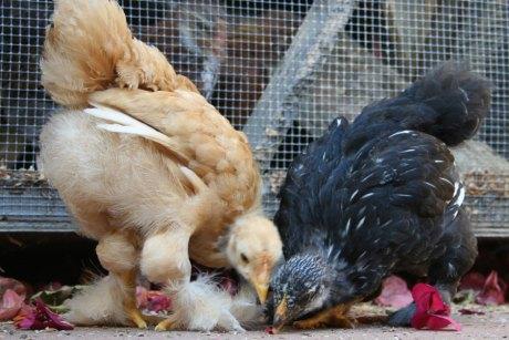 Cochin Chicken Chicks