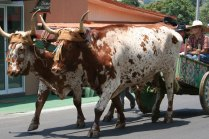 costa-rica-ox-cart-parade-atenas-7