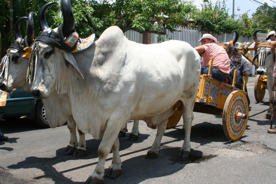 Boyero de Oxen Parade & Climate Fair
