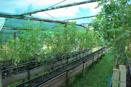 Tomatoe Production