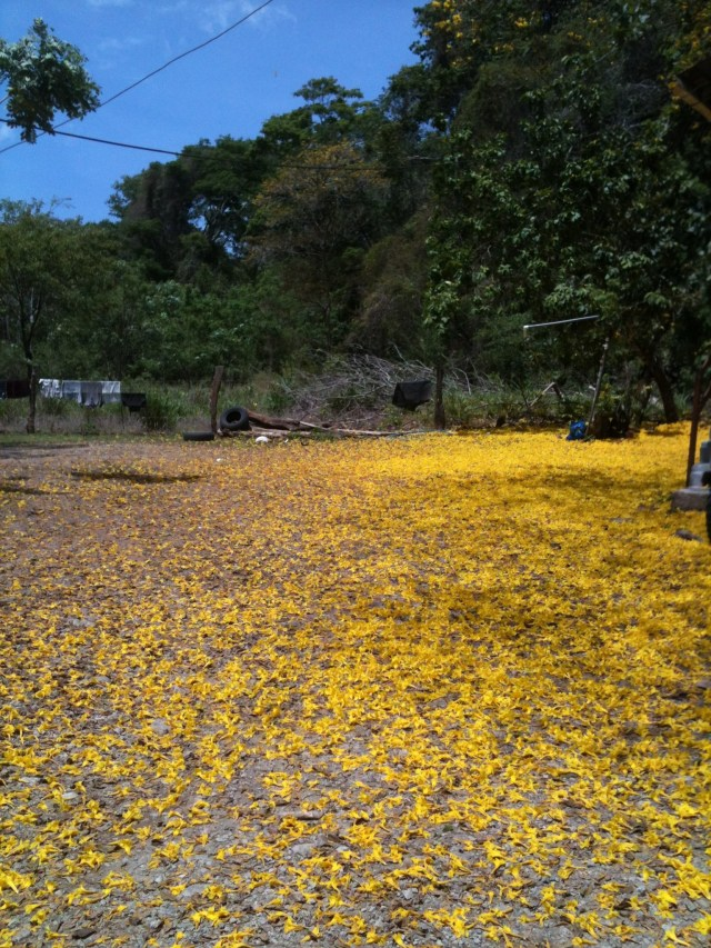 Costa Rica Yellow Tree