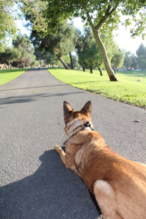 Roxy holding a down/stay while we work at the park.