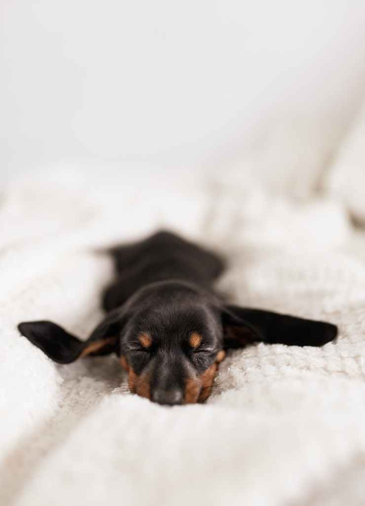 funny little dachshund puppy sleeping on cozy sofa