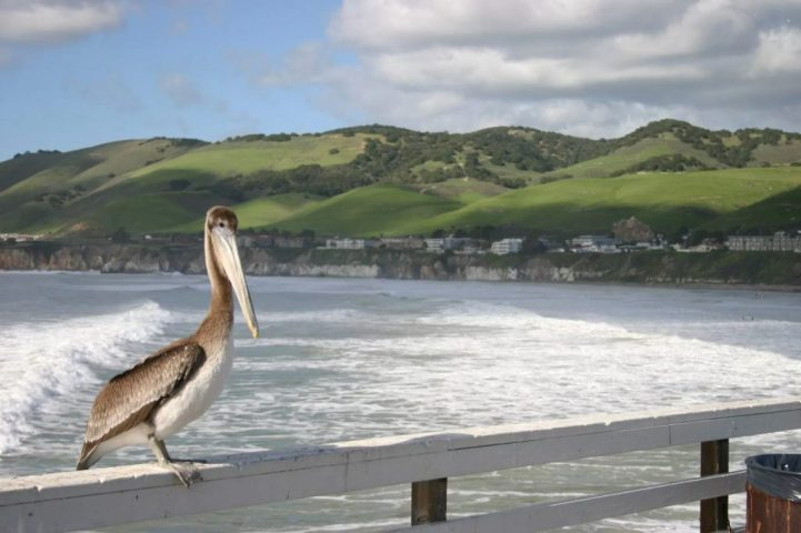 Stork on Pismo Pier embraces the SLO life