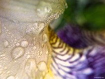 Drops on Lily