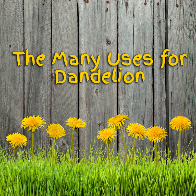 The Many Uses for Dandelion