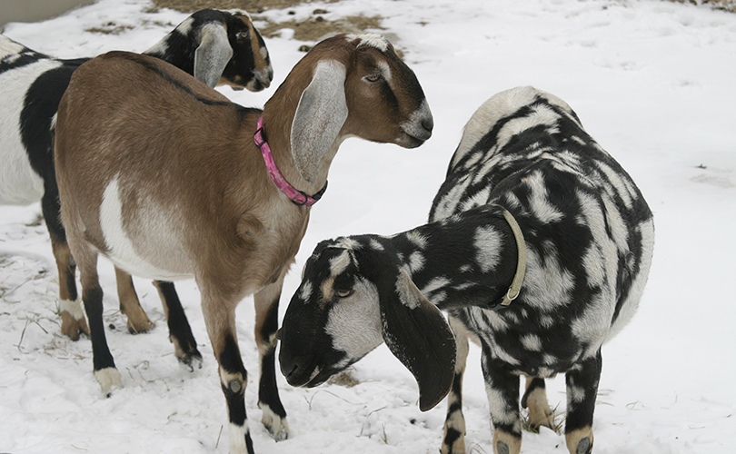 Nubian Goat Doe, LOUDON, NH
