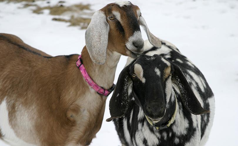 Nubian Goat Doe, loudon,NH