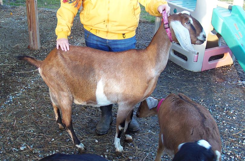 Nubian goat in NH