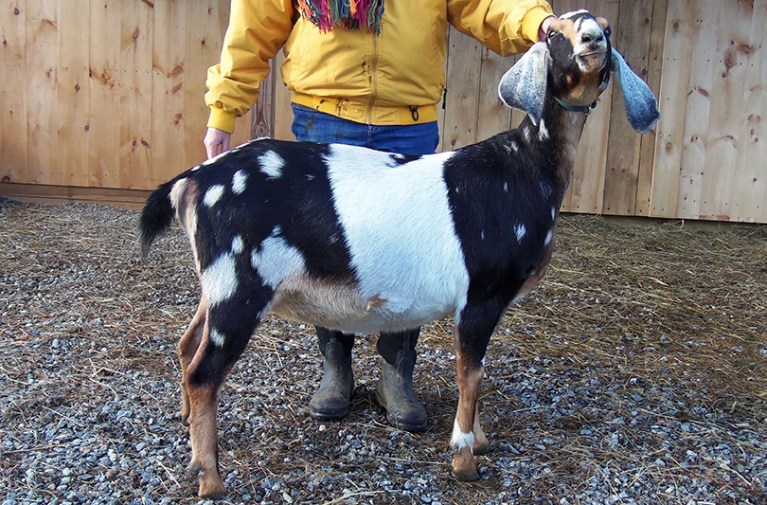 Nubian baby goat, For sale in NH