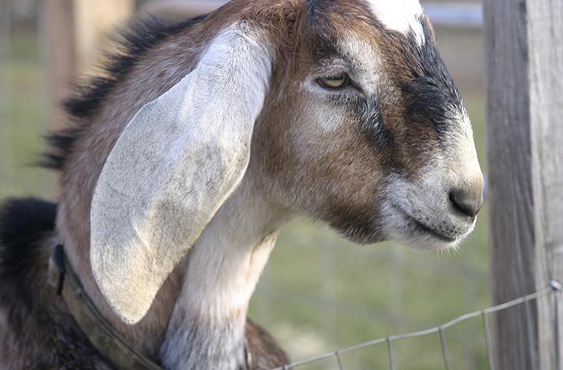 Olli Nubian Buck in NH