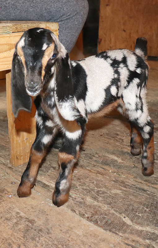 Baby goat for sale in Loudon, NH