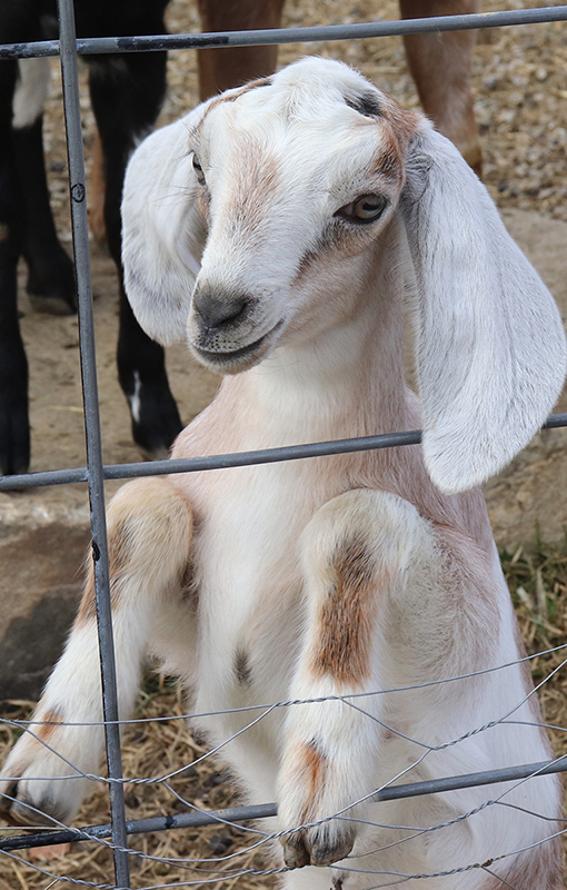 baby goat s for sale in NH