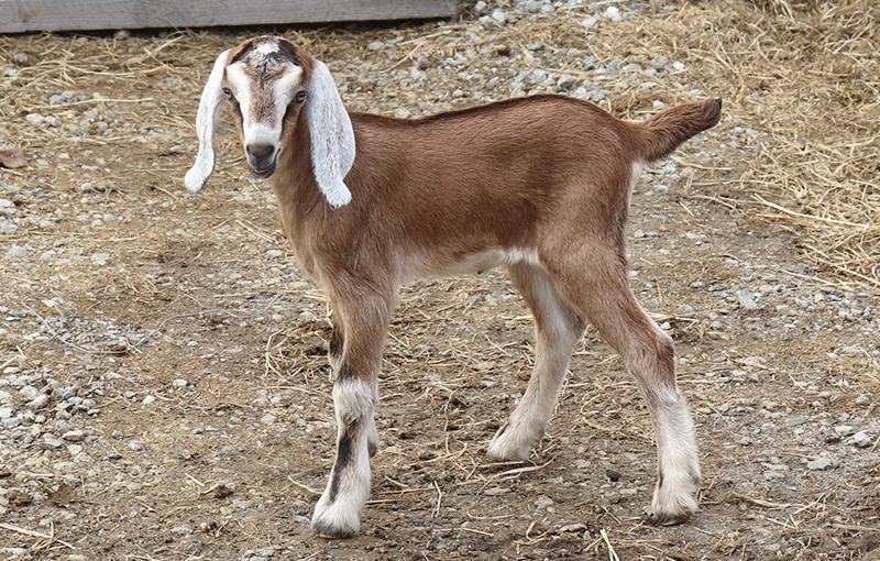 Baby goat for sale in NH