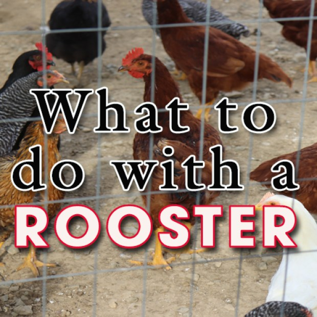 What to do with a Rooster