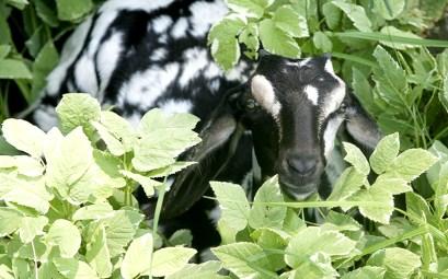 Pearl Baby Nubian Goat