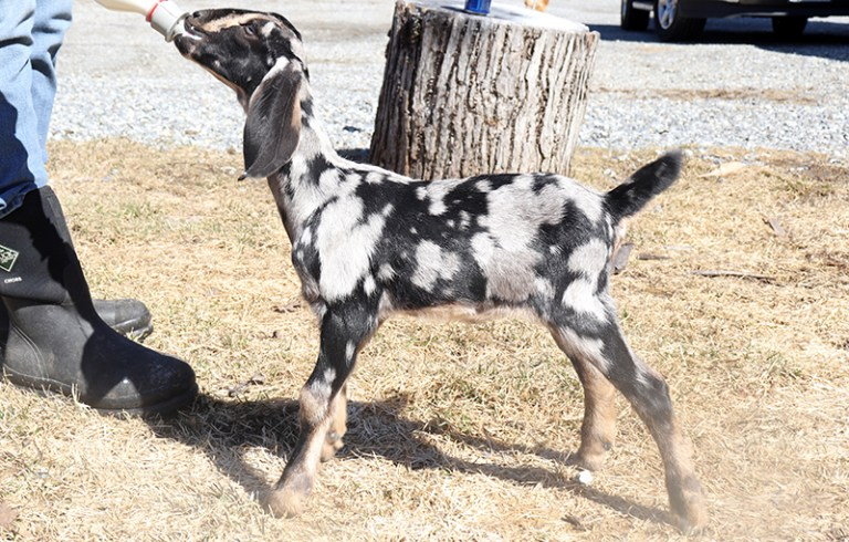 Baby Nubian Goats for Sale in Loudon, NH /SOLD