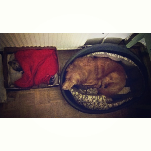 Nukkuva koiranpentu
