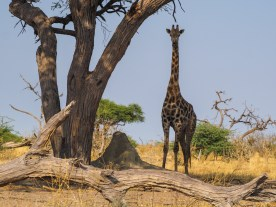 Giraffe is watching us