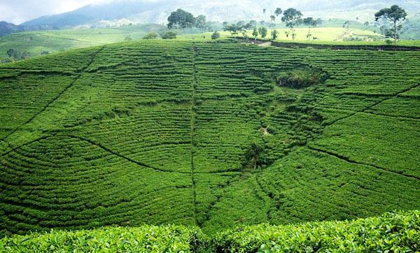 perkebunan teh kemuning