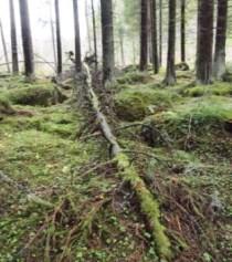 Árbol caído en el bosque