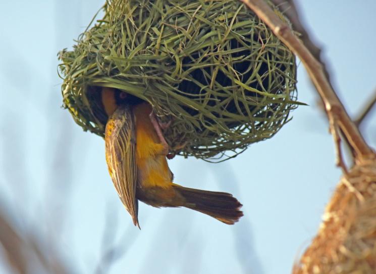 Pájaro tejedor construyendo su nido