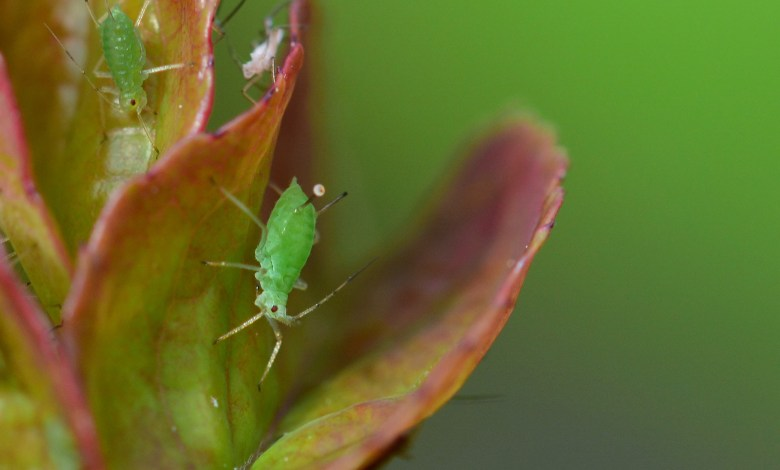 Photo of How to Get Rid of Aphids