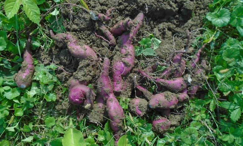 Photo of How to Grow Sweet Potatoes