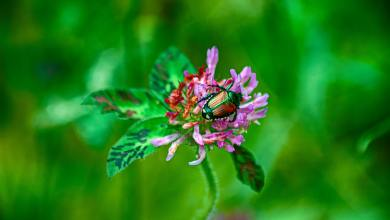 Photo of How to Prevent and Remove Japanese Beetles