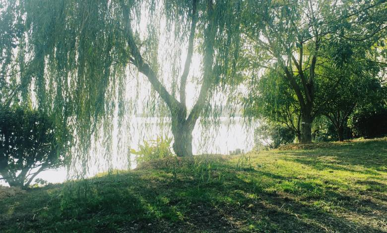 Photo of 11 Types of Willow Trees