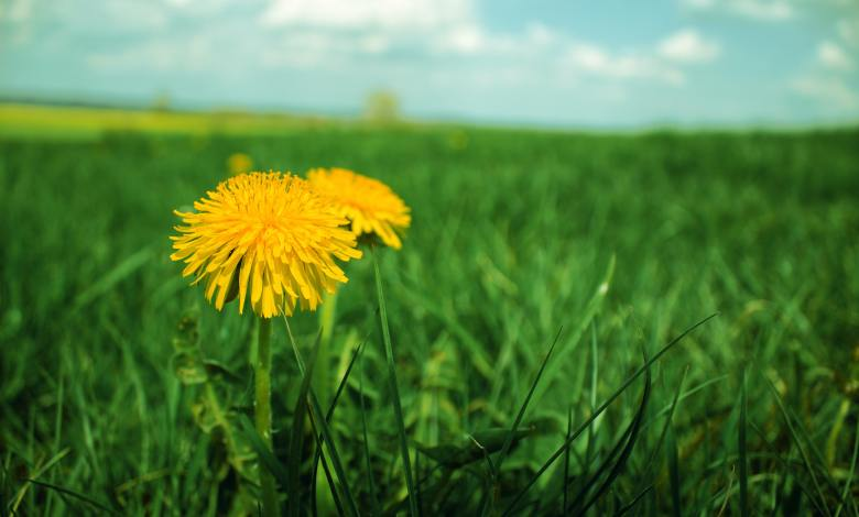 Photo of How to Kill Dandelions for Good