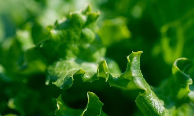 Photo of How to Grow and Harvest Leaf Lettuce