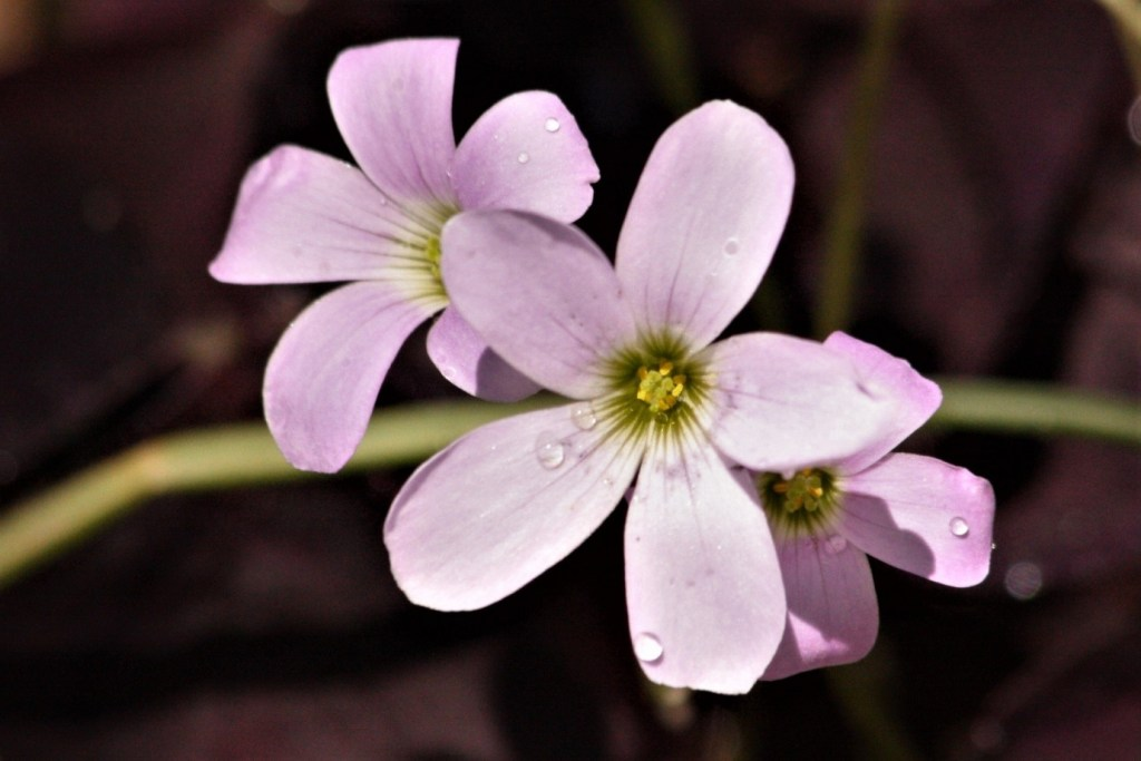 Oxalis triangularis flowers closeup