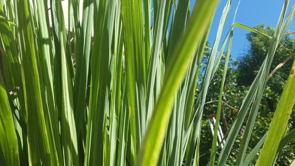 Lemon grass snake repellent