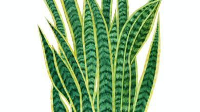 Photo of Grow Your Own: How to Propagate Snake Plants