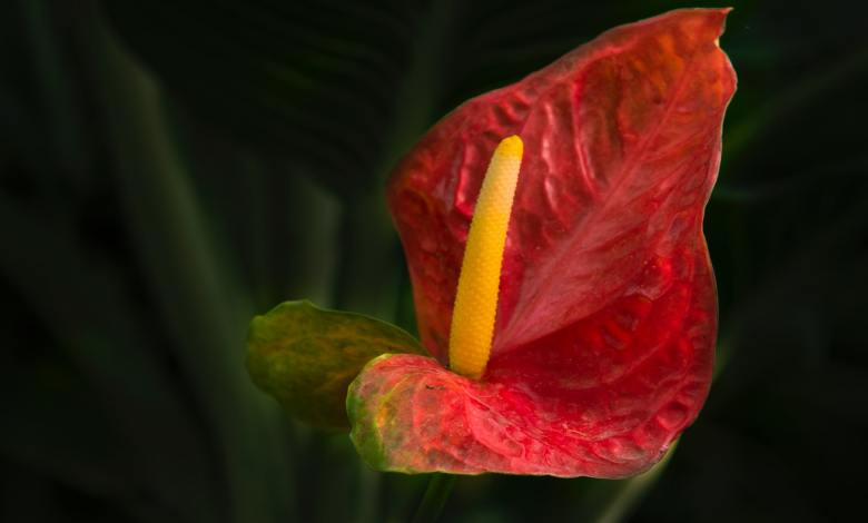 Photo of Anthurium Care: How to Make the Flamingo Flower Bloom