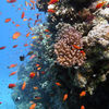 photo - coral with anthias fish.jpg