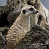 photo - meerkat on a log