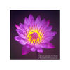 photo - purple lotus flower