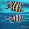 photo - sergeant major fish