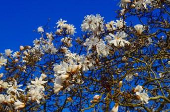 star magnolia sm