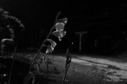 gladiolus at night