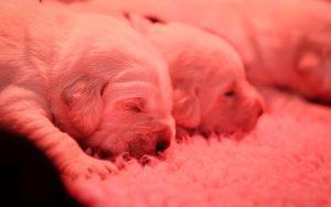 2 weken oude puppies