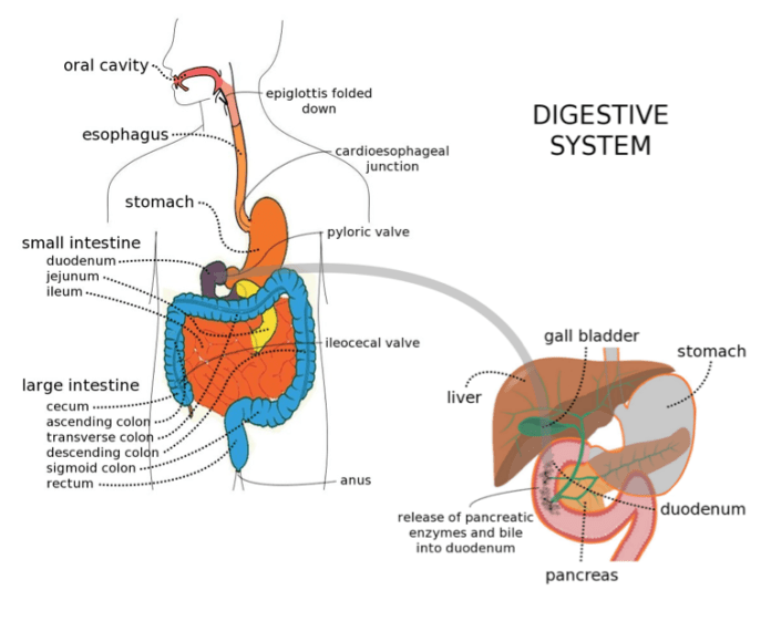 Gut: Digestive System - Purpose Driven Mastery