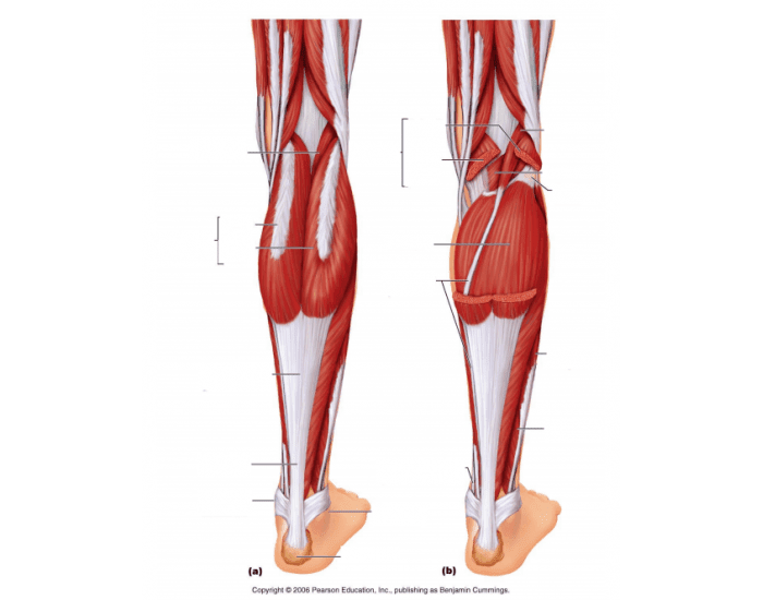 Lower Leg Muscles (Posterior View)