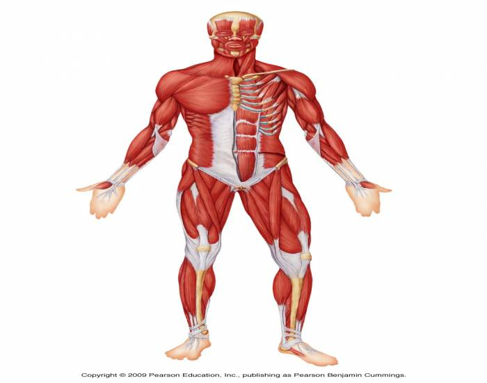 Muscles Of The Anterior Surface Of The Body.