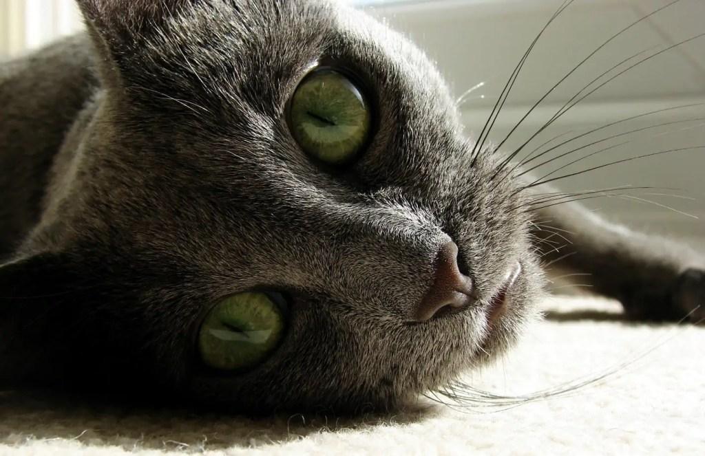 Feline Hyperesthesia Syndrome