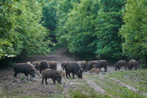 Hogs Feeding in Forest